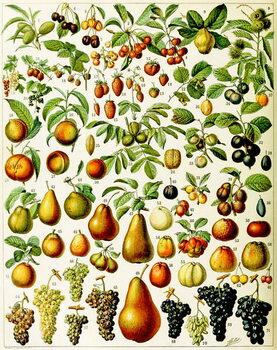 Illustration of  fruit c.1923 Canvas Print