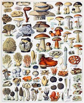 Illustration of  Mushrooms  c.1923 Canvas Print