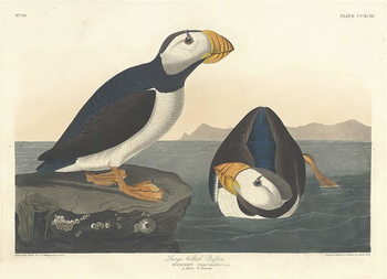 Large-billed Puffin, 1836 Canvas Print