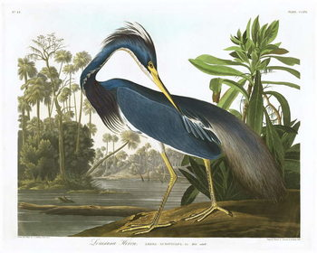 Louisiana Heron, 1834 Canvas Print