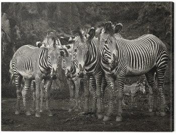 Canvas Print Marina Cano - Zebras