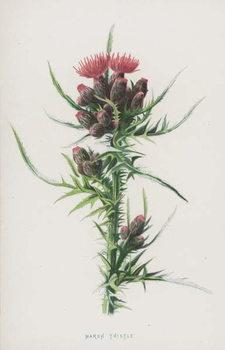 Marsh Thistle Canvas Print