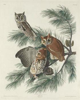 Mottled Owl, 1830 Canvas Print