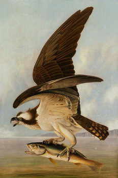 Osprey and Weakfish, 1829 Canvas Print