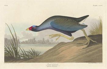 Purple gallinule, 1836 Canvas Print