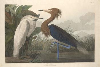 Purple Heron, 1835 Canvas Print