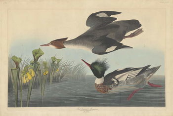 Red-breasted Merganser, 1838 Canvas Print
