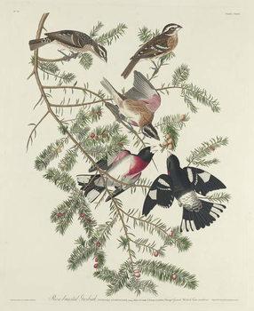 Rose-breasted Grosbeak, 1832 Canvas Print