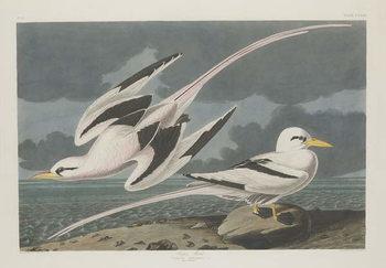 Tropic Bird, 1835 Canvas Print