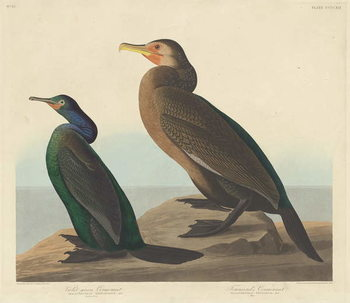 Violet-green Cormorant and Townsend's Cormorant, 1838 Canvas Print