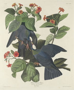 White-crowned Pigeon, 1833 Canvas Print