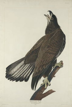 White-Headed Eagle, 1832 Canvas Print