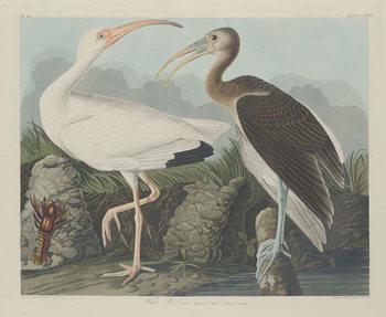 White Ibis, 1834 Canvas Print
