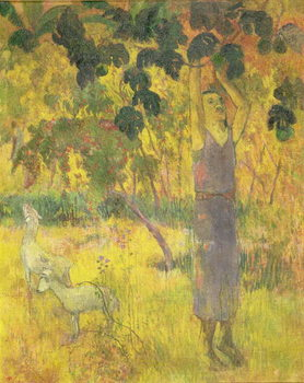 Man Picking Fruit from a Tree, 1897 Canvas Print