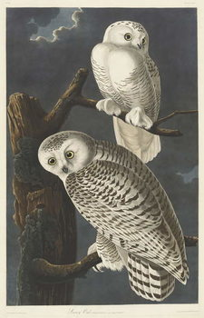 Snowy Owl, 1831 Canvas Print