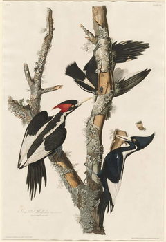 Ivory-billed Woodpecker, 1829 Canvas-taulu