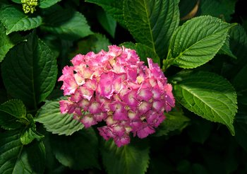 Papel de parede Flowers Hydrangea Pink