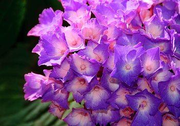 Papel de parede Flowers Hydrangea Purple