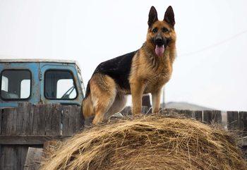 Papel de parede German Shepherd Dog