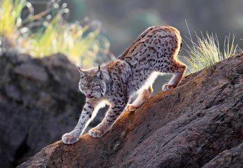 Papel de parede Lynx At Sunset