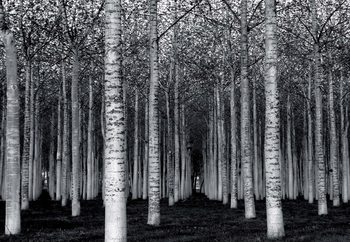 Papel de parede The Forest For The Trees