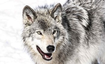 Papel de parede Wolf Animal