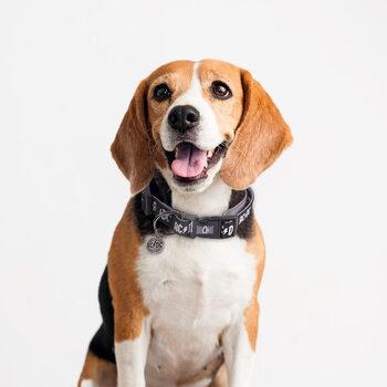 Dog collar ACDC