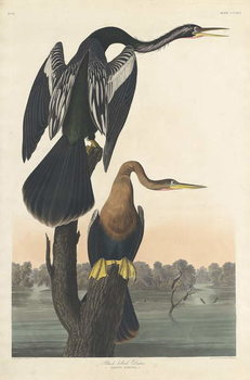 Black-bellied Darter, 1836 Taidejuliste