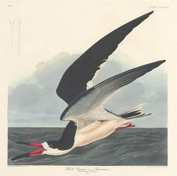 Black Skimmer, 1836 Taidejuliste