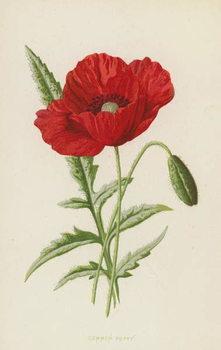 Common Poppy Taidejuliste