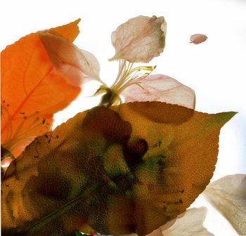 Crabapple Rose I, 2014, Taidejuliste