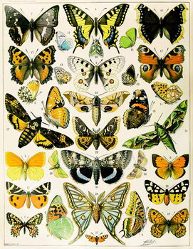 Illustration of  Butterflies and Moths c.1923 Taidejuliste