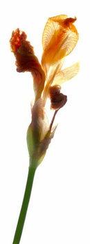 Iris Yellow, 2011, Taidejuliste