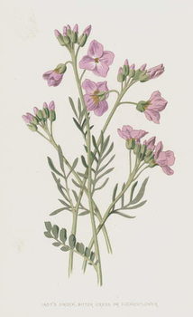 Lady's Smock, Bitter Cress, or Cuckooflower Taidejuliste