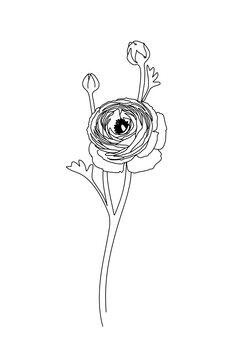 Kuva Ranunculus line art