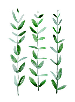 Kuva Watercolor eucalyptus parvifolia