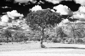 Eksklusiiviset taidevalokuvat Acacia Tree in the African Savannah