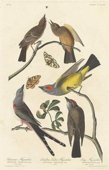 Arkansaw Flycatcher, Swallow-tailed Flycatcher and Says Flycatcher, 1837 Taidejuliste