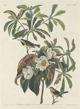 Bachman's Warbler, 1834 Taidejuliste