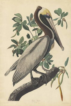 Brown Pelican, 1835 Taidejuliste