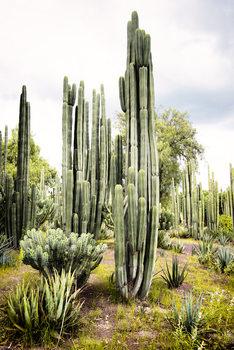 Eksklusiiviset taidevalokuvat Cardon Cactus II