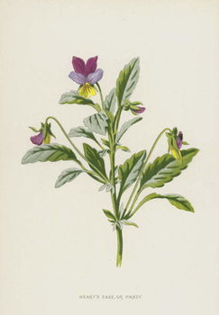 Heart's Ease, or Pansy Taidejuliste
