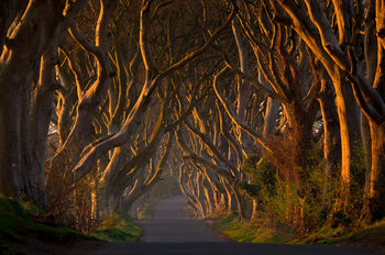 Eksklusiiviset taidevalokuvat The Dark Hedges in the Morning Sunshine