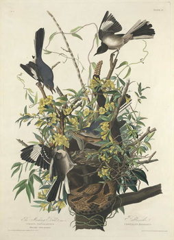 The Mocking Bird, 1827 Taidejuliste
