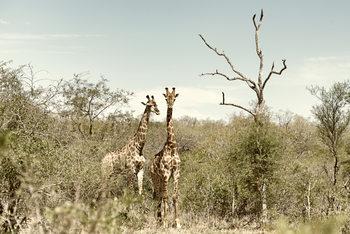 Eksklusiiviset taidevalokuvat Two Giraffes