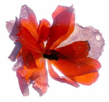 Fine Art Print Begonia Round