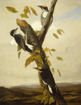 Fine Art Print Black-Backed Three-Toed Woodpecker, 1831-3