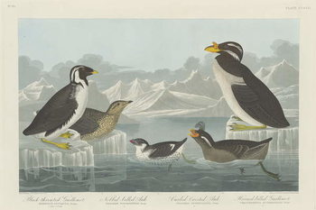 Fine Art Print  Black-throated Guillemot, Nobbed-billed Auk, Curled-Crested Auk and Horned-billed Guillemot1838