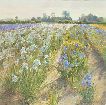 Fine Art Print Blue and White Irises, Wortham