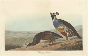 Fine Art Print Californian Partridge, 1838
